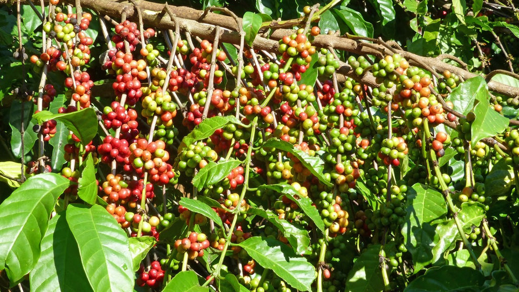 What exactly is the famous Robusta coffee?