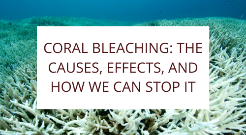 Coral Bleaching: the causes, effects, and how we can stop it
