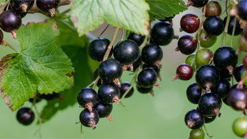 black currant (Ribes nigrum)