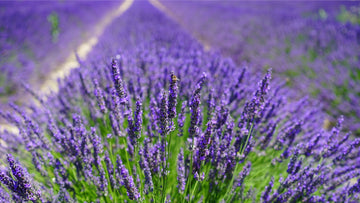lavander (Lavandula angustifolia) flowers on field