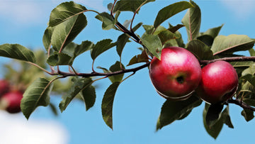 Ripe red apples (Malus pumila) on tree branch
