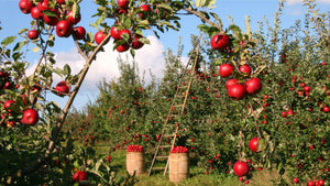 Red apples in trees in orchard