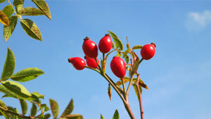 wild rosehip (Rosa canina) fruits and leaves