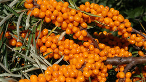 sea buckthorn (Hippophae rhamnoides) fruits on bush