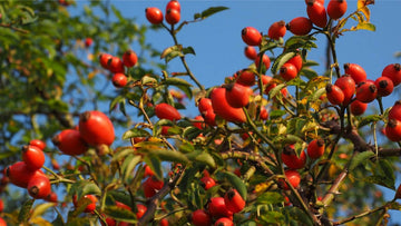 wild rosehip fruits on bush