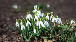 Snowdrops symbol of Martisor Romania