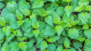 Stinging nettle (Urtica dioica) leaves