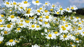 wild chamomile (Matricaria chamomilla) flowers leaves on sunny field