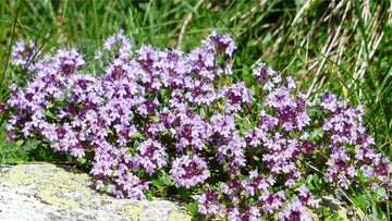 wild marjoram (Origanum vulgare subsp. vulgare) leaves flowers in bloom