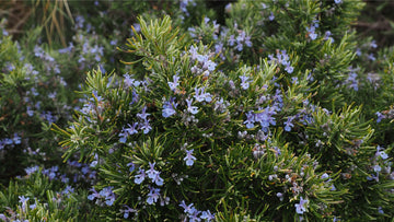 rosemary (Rosmarinus officinalis) flowers leaves