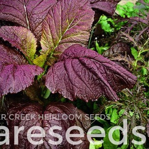 "Mustard Greens ""Giant Red Japanese"""