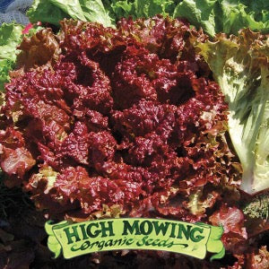 "Lettuce ""New Red Fire"""