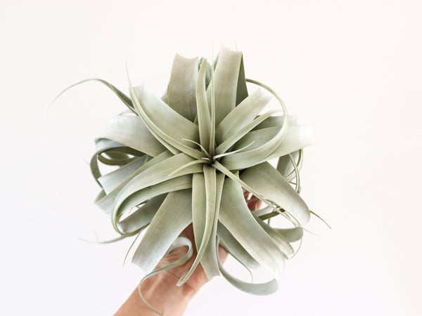 Hairpin and Airplant Gift Bundle