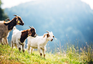 Is Goat Milk Products Good for Eczema? 5 Benefits!