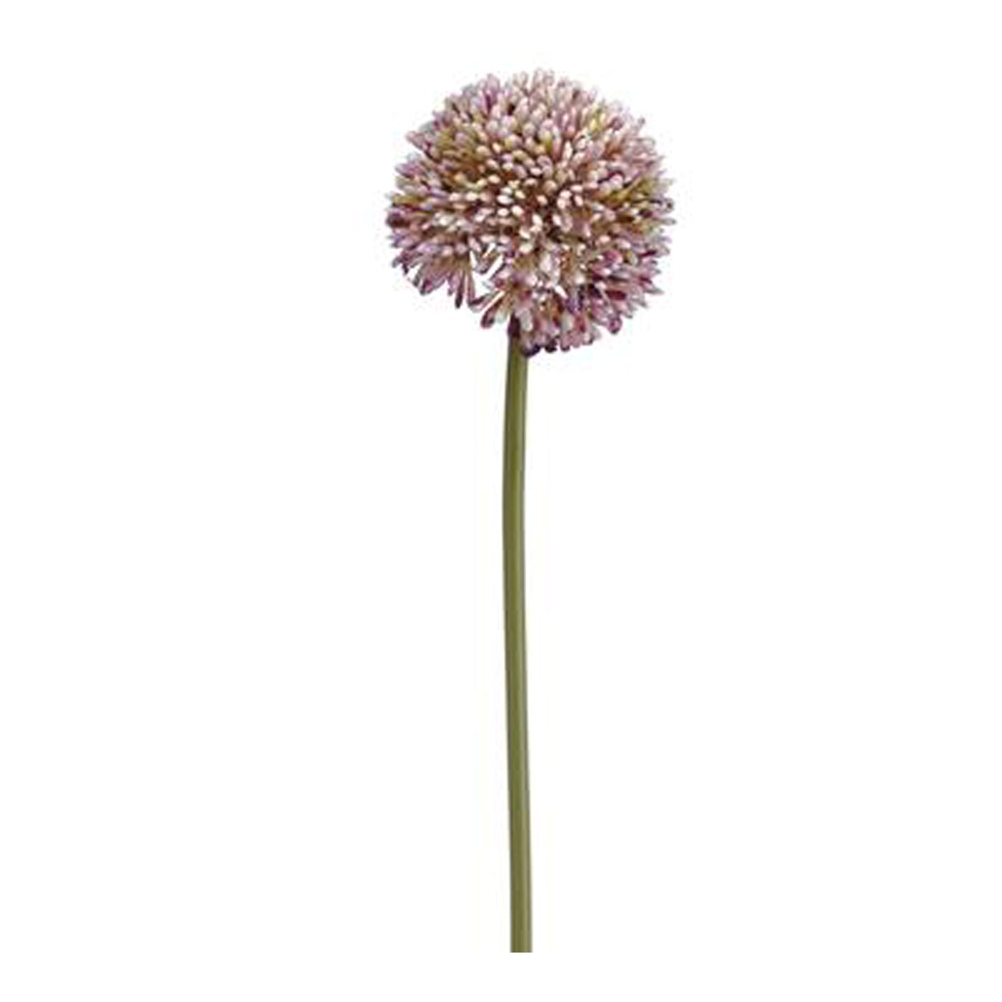 Allium Purple Green 17.5