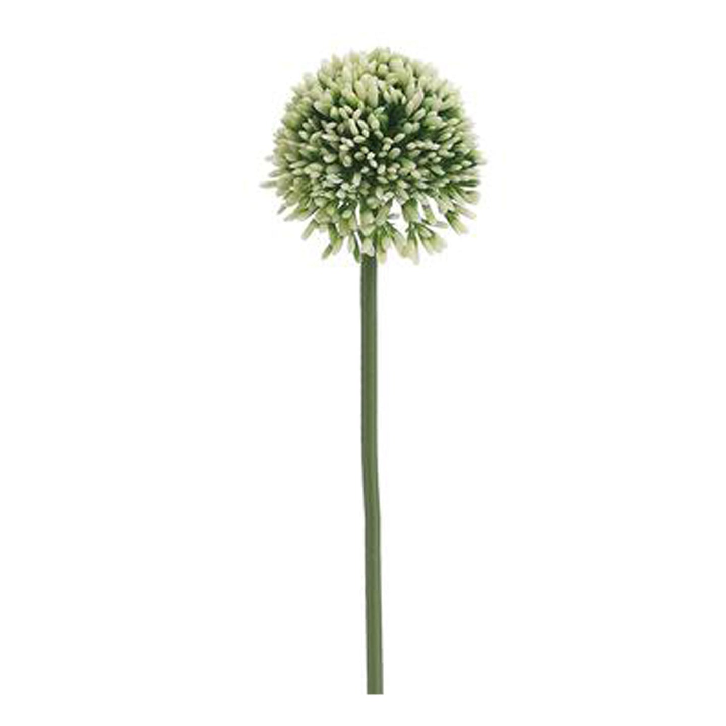 Allium Cream Green 17.5
