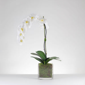 Classic Moss Potted Orchid –White  Item # 825