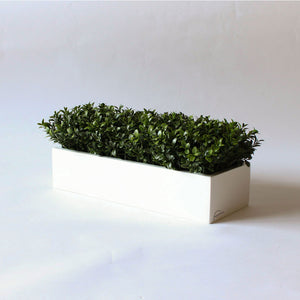English Boxwood   Item #833