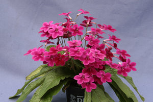 Streptocarpus Fleischle Collection A - Dibleys