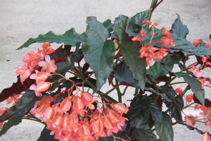 A Collection of Begonias - Dibleys