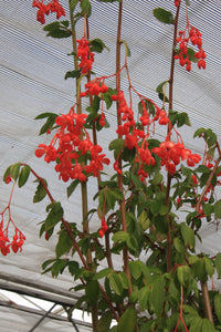 fuchsioides (red) - Dibleys