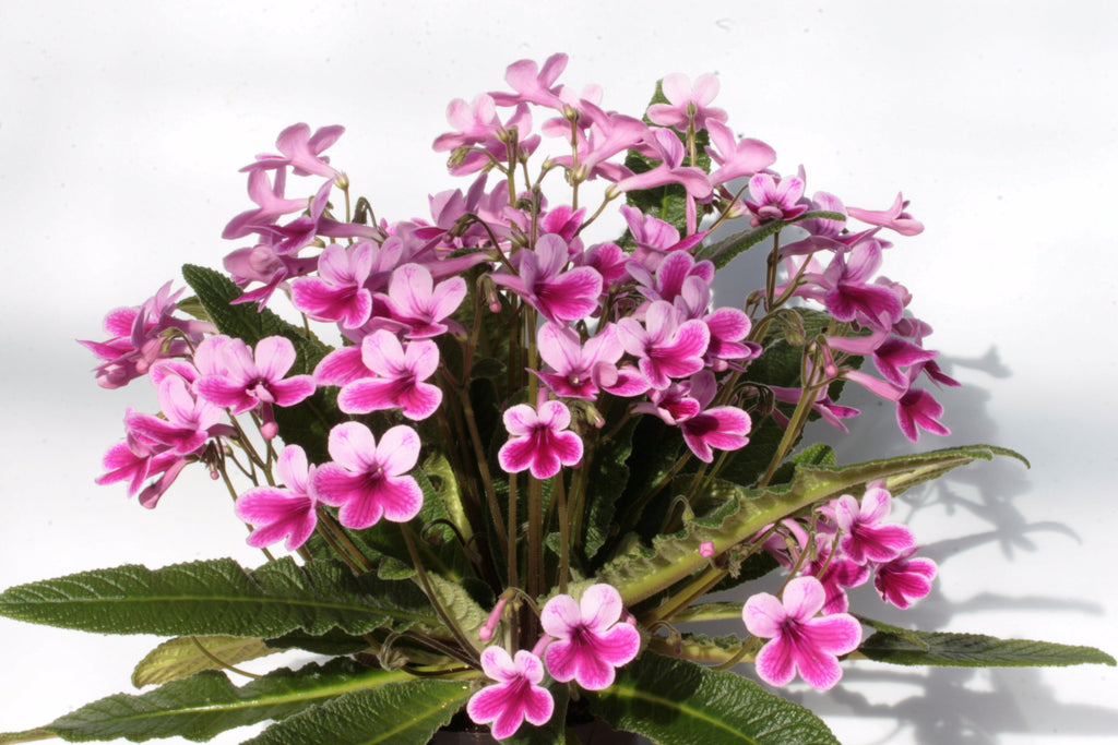 A Collection of Streptocarpus - Dibleys
