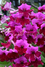 Potted Streptocarpus Plants - Dibleys