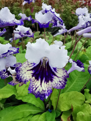 The Sun - Streptocarpus Collection, with Peter Seabrook - Dibleys