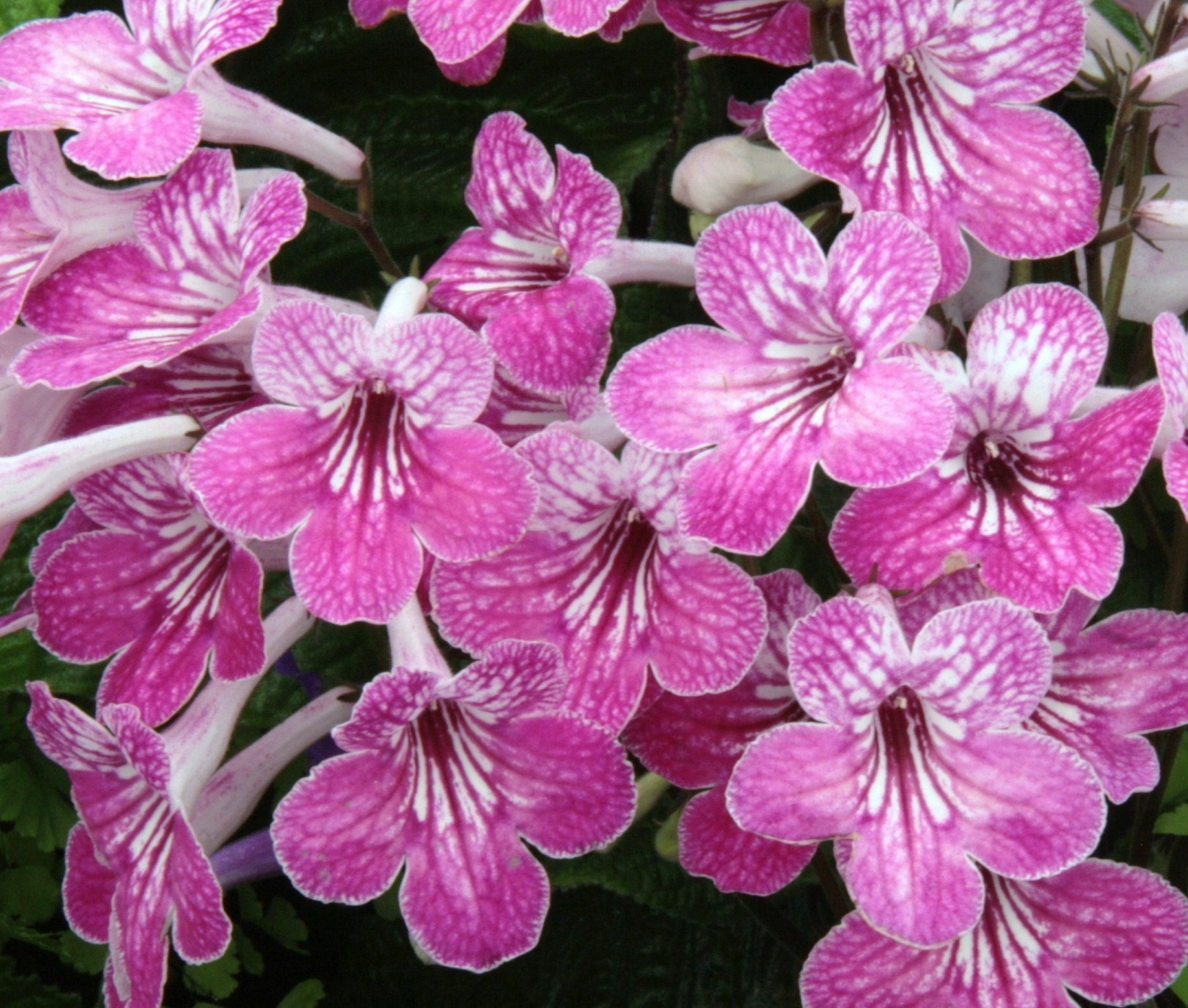 GIFT HOUSEPLANT Streptocarpus Celebration