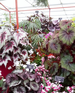 Large Foliage Begonias - Dibleys