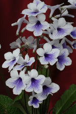 A Collection of Crystal Streptocarpus - Dibleys
