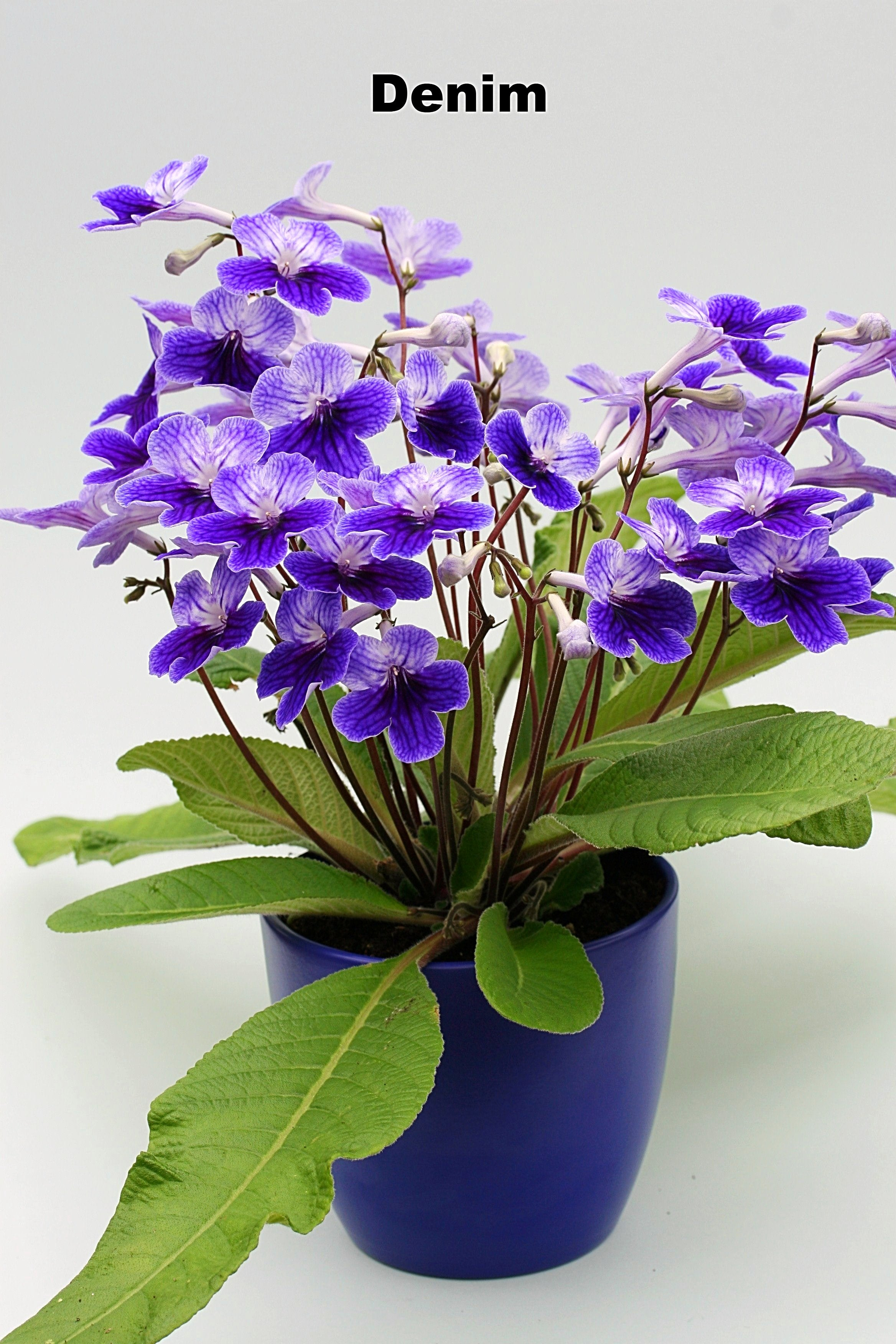 Potted Streptocarpus with Planter - Dibleys