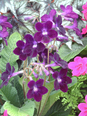 Potted Streptocarpus Plants (Ø10cm)