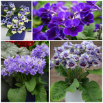 'Harlequin Blue' Ø10cm Potted Plant - Dibleys