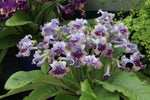 A Collection of Harlequin Streptocarpus - Dibleys