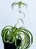 Curly Spider Plant - Dibleys