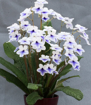 4 x Potted Streptocarpus Plants ('Celebration' 'Bethan' 'Crystal Ice' 'Targa') - Dibleys