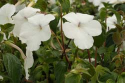 Achimenes Jay Dee Large White - Dibleys