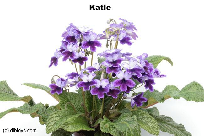 Large Potted Streptocarpus with White Ceramic Planter - Dibleys