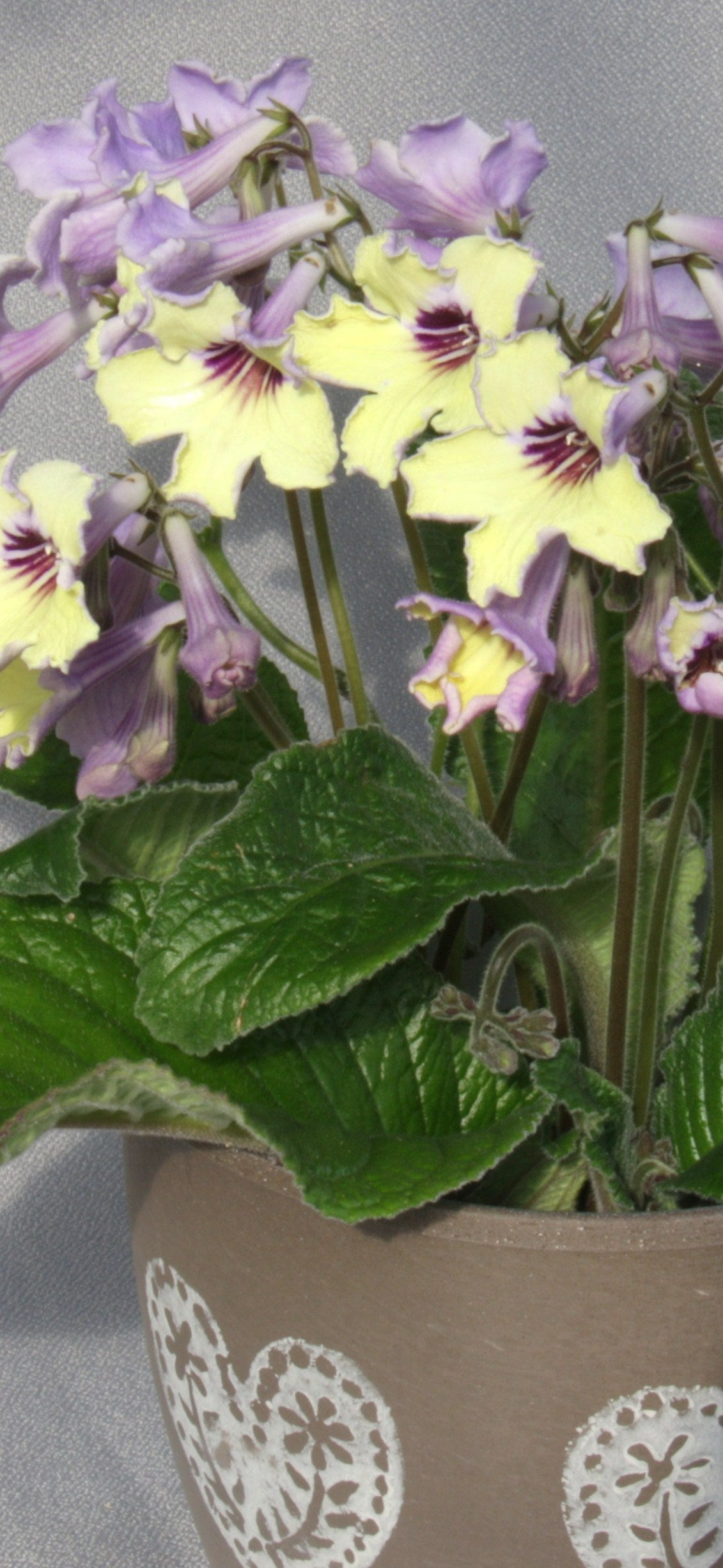 Streptocarpus Lemon Sorbet - Dibleys