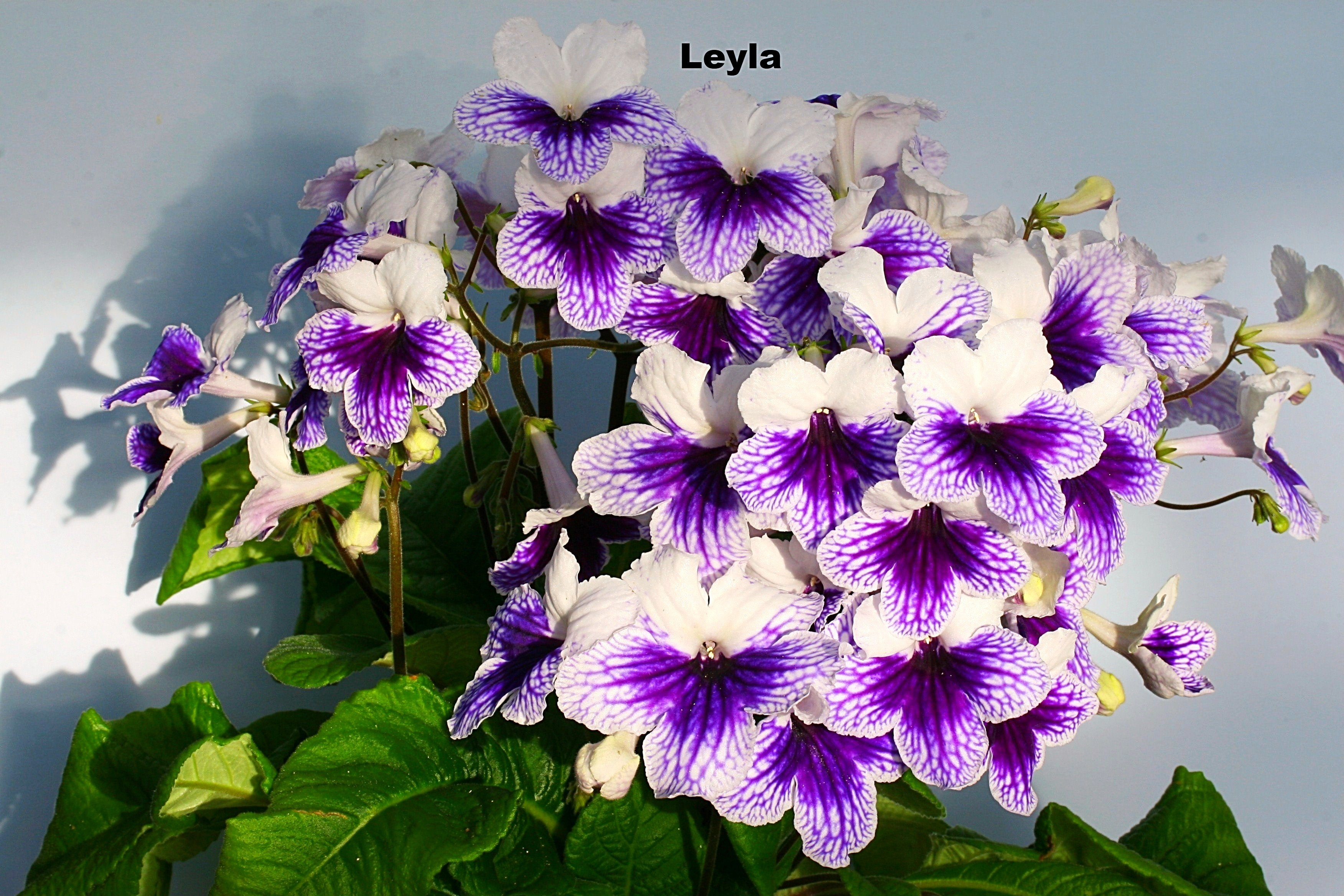 Streptocarpus Fleischle Collection A & B - Dibleys