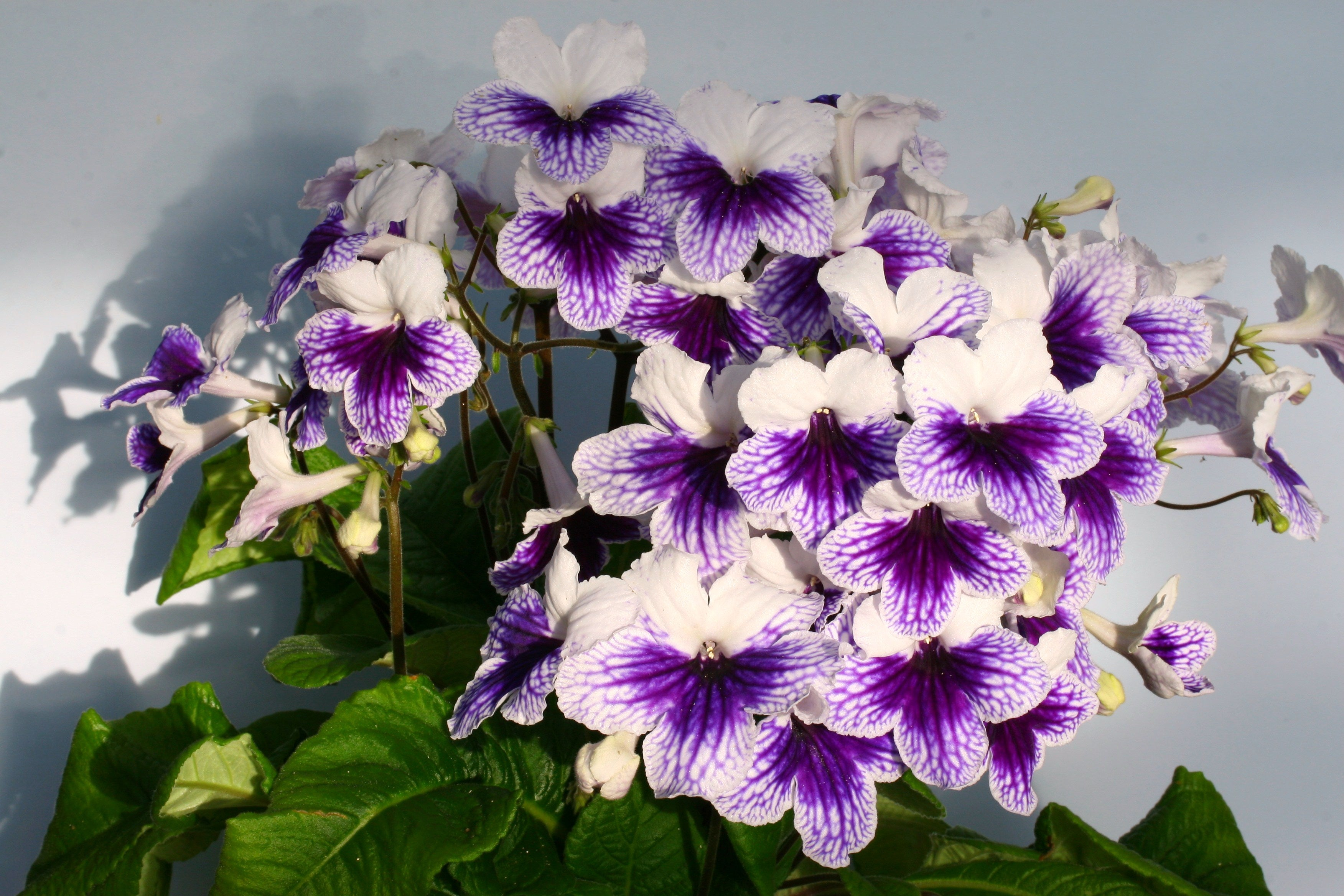Streptocarpus Fleischle Collection B - Dibleys