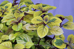 Potted Foliage Plants Ø12cm (excluding begonias)