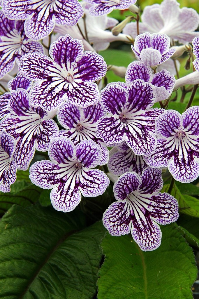 The Sun - Streptocarpus (Cape primrose) Collection, with Peter Seabrook NOW WITH POLKA DOT PURPLE - Dibleys
