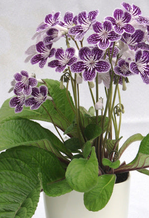 Polka-Dot Purple- Potted Plant - Dibleys