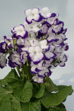 Streptocarpus Fleischle Collection A