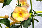 Yellow English Rose