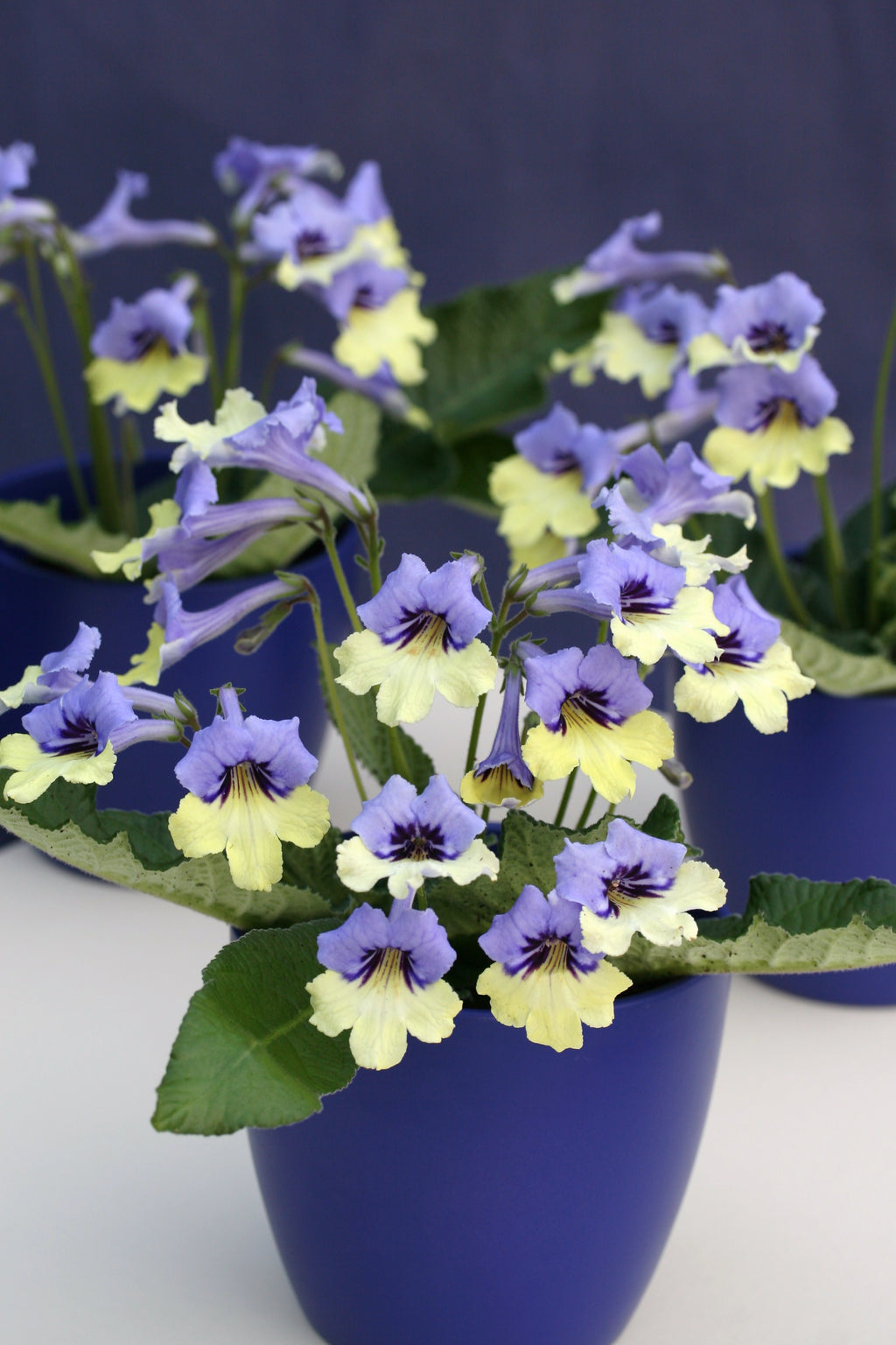 Harlequin Blue - RHS Plant of the Decade - Dibleys