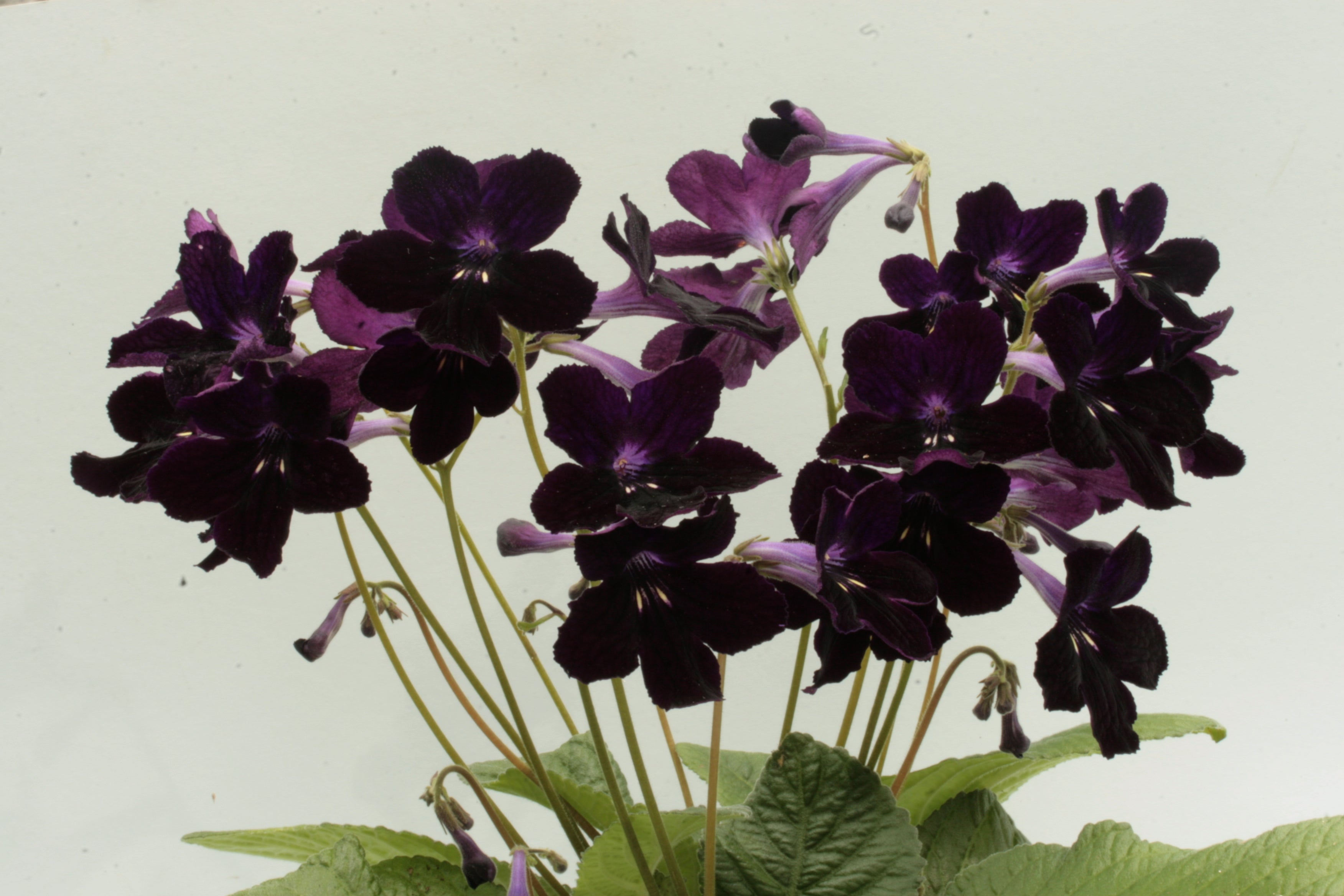 Streptocarpus Black Panther - Dibleys