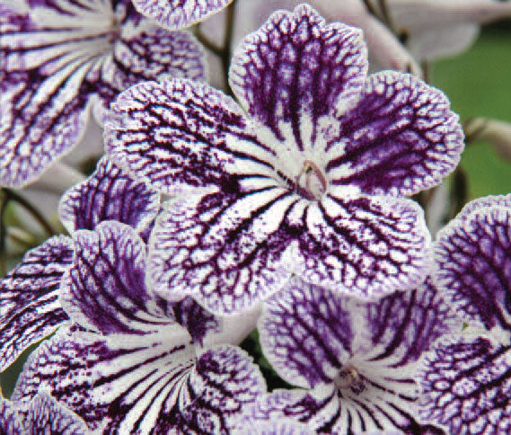 Streptocarpus Polka-Dot Purple- Potted Plant - Dibleys